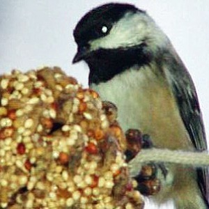 Pinecone Bird Feeder 2
